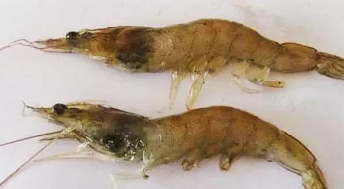 对虾红腿病检测